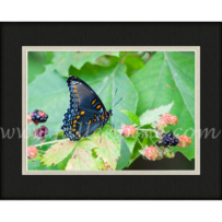 Red Spotted Admiral SP-127
