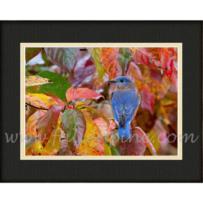 Autumn Bluebird SP-2