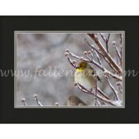 Golden Wintery Finch SP-18