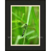 Eastern Pondhawk Dragonfly SP-56