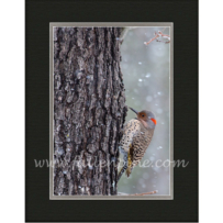Northern Flicker in Snowfall SP-34